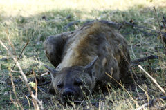Spotted Hyena Close Encounter Royalty Free Stock Photo
