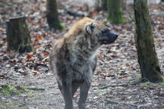 Spotted hyena close Royalty Free Stock Photography