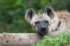 Spotted hyena. Close up a spotted hyena stock image