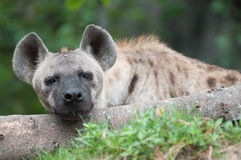 Spotted hyena. Close up a spotted hyena royalty free stock photography
