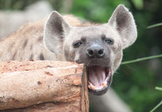 Spotted hyena. Close up a spotted hyena stock photography
