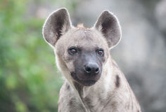 Spotted hyena. Close up a spotted hyena royalty free stock photo