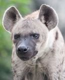 Spotted hyena. Close up a spotted hyena stock images