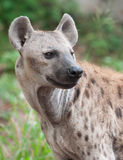 Spotted hyena. Close up a spotted hyena stock photos