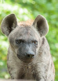 Spotted hyena. Close up a spotted hyena royalty free stock image