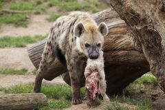Spotted hyena Crocuta crocuta. Also known as the laughing hyena Stock Photo