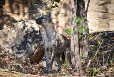 Hyena. Spotted hyena Crocuta crocuta, also known as the laughing hyena Royalty Free Stock Photography