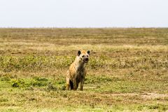 The spotted hyena Crocuta crocuta. Also known as the laughing hyena is a species of hyenas or hyaenas feliform carnivoran mammals of the family Hyaenidae in Stock Image