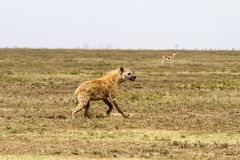 The spotted hyena Crocuta crocuta. Also known as the laughing hyena is a species of hyenas or hyaenas feliform carnivoran mammals of the family Hyaenidae in Stock Photos