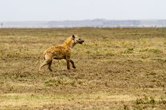 The spotted hyena Crocuta crocuta. Also known as the laughing hyena is a species of hyenas or hyaenas feliform carnivoran mammals of the family Hyaenidae in Royalty Free Stock Images