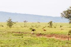 The spotted hyena Crocuta crocuta Stock Image