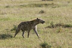 Spotted hyena (Crocuta crocuta) Royalty Free Stock Photos