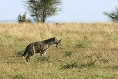Spotted hyena (Crocuta crocuta) Stock Photos