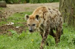 Spotted Hyena (Crocuta crocuta). A walking Spotted Hyena in Safari Beekse Bergen, Netherlands royalty free stock photos