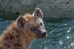 Spotted hyena (Crocuta crocuta) Stock Photography