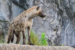 Spotted hyena (Crocuta crocuta). Stands on rock Royalty Free Stock Photo