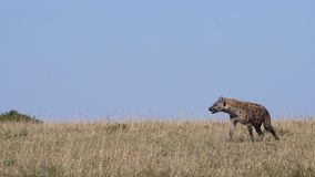 Spotted Hyena, crocuta crocuta, Adult walking through savannah, Masai Mara Park in Kenya,. Slow motion stock video footage