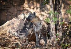 Hyena. Spotted hyena Crocuta crocuta, also known as the laughing hyena Stock Photos