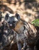 Hyena. Spotted hyena Crocuta crocuta, also known as the laughing hyena Stock Photo