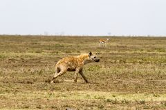The spotted hyena Crocuta crocuta. Also known as the laughing hyena is a species of hyenas or hyaenas feliform carnivoran mammals of the family Hyaenidae in Stock Photography