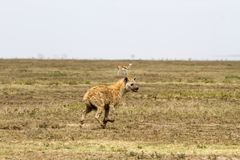 The spotted hyena Crocuta crocuta. Also known as the laughing hyena is a species of hyenas or hyaenas feliform carnivoran mammals of the family Hyaenidae in Royalty Free Stock Photography
