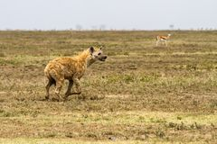 The spotted hyena Crocuta crocuta. Also known as the laughing hyena is a species of hyenas or hyaenas feliform carnivoran mammals of the family Hyaenidae in Stock Images
