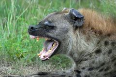 The spotted hyena (Crocuta crocuta). Also known as the laughing hyena in Kruger National Park, South Africa Stock Image