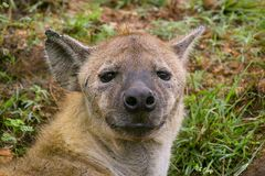 The spotted hyena (Crocuta crocuta) Stock Images