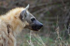Spotted hyena (Crocuta crocuta) Stock Image