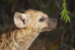Spotted hyena (Crocuta crocuta) Stock Photography