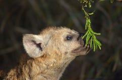 Spotted hyena (Crocuta crocuta) Royalty Free Stock Photos