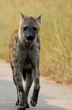 Spotted hyena (Crocuta crocuta) Royalty Free Stock Photography
