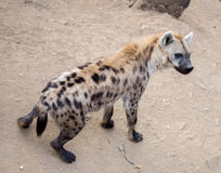 Spotted Hyena (Crocuta crocuta) Stock Photo