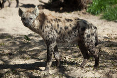Spotted hyena (Crocuta crocuta). Royalty Free Stock Photo