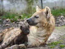 Free Spotted Hyena (Crocuta Crocuta) Baby Stock Photos - 40089883