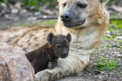 Free Spotted Hyena (Crocuta Crocuta) Baby Royalty Free Stock Photos - 40089908