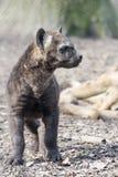 Spotted hyena (Crocuta crocuta) baby Royalty Free Stock Photo
