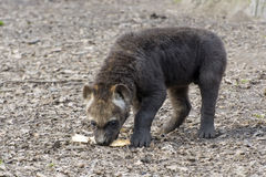 Spotted hyena (Crocuta crocuta) baby Royalty Free Stock Images