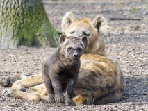 Spotted hyena (Crocuta crocuta) baby. In a forest Royalty Free Stock Photo
