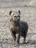 Spotted hyena (Crocuta crocuta) baby Stock Photos