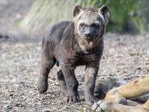 Spotted hyena (Crocuta crocuta) baby Royalty Free Stock Photography