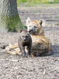 Spotted hyena (Crocuta crocuta) baby Stock Photography