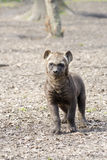 Spotted hyena (Crocuta crocuta) baby Royalty Free Stock Photography