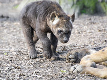 Spotted hyena (Crocuta crocuta) baby Stock Photo