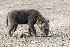 Spotted hyena (Crocuta crocuta) baby Stock Images