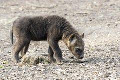 Spotted hyena (Crocuta crocuta) baby Stock Images