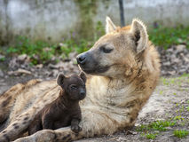 Spotted hyena (Crocuta crocuta) baby Stock Photos