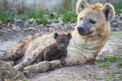 Spotted hyena (Crocuta crocuta) baby Royalty Free Stock Image