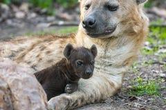 Spotted hyena (Crocuta crocuta) baby Royalty Free Stock Photos