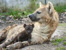 Spotted hyena (Crocuta crocuta) baby Stock Image